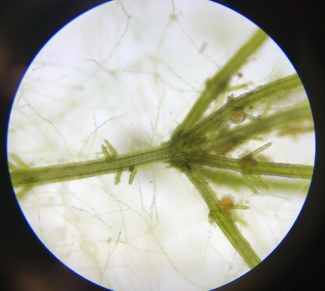 The specie Chara aspera, a common algae found in the Bothnian Bay, is studied under a low power microscope. Photo: Essi Keskinen, Metsähallitus