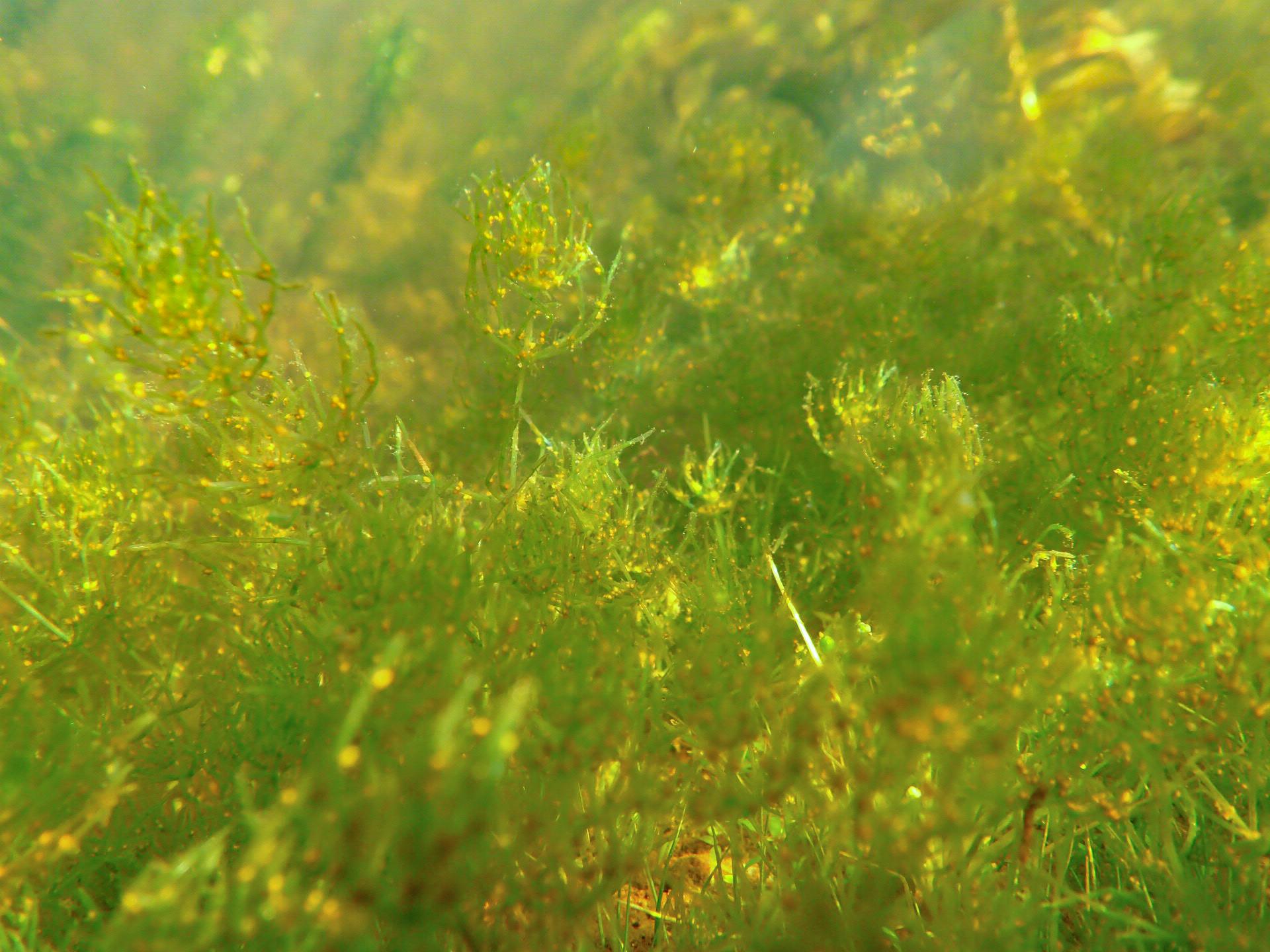 Chara braunii meadow.