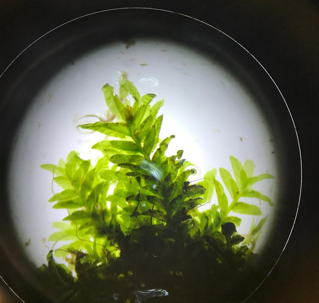 Fissidens osmundoides under a microscope.