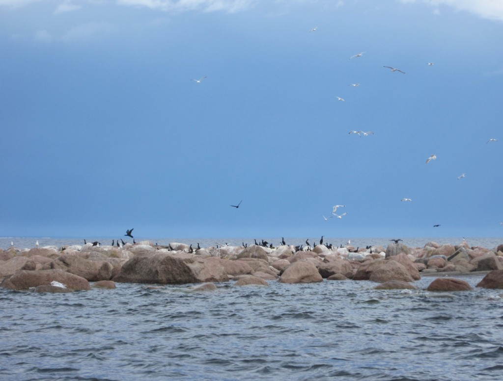 A small island formed of big rocks. Great cormorants and seagulls sitting on the rocks and flying above.