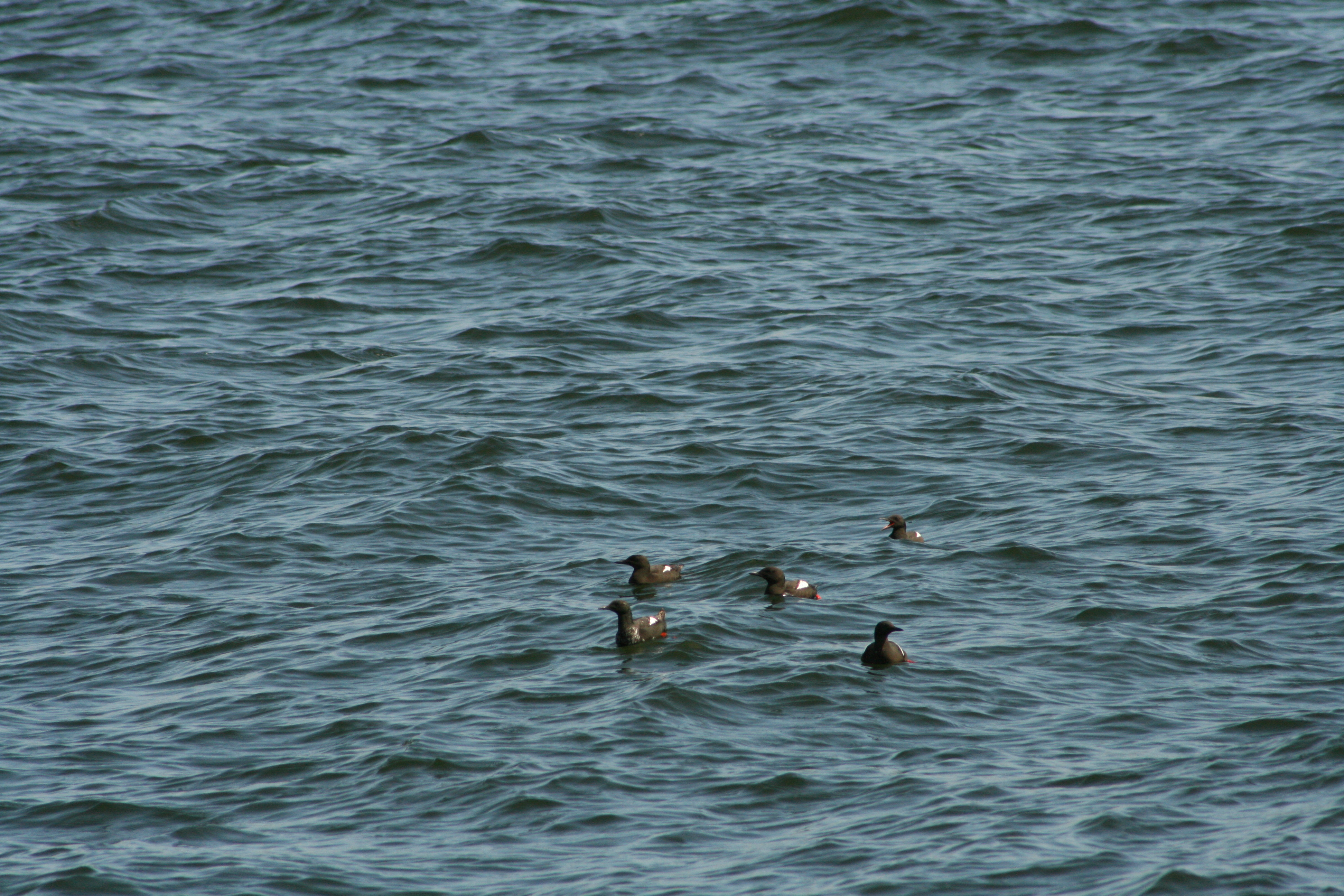 5 black guillemots on water.