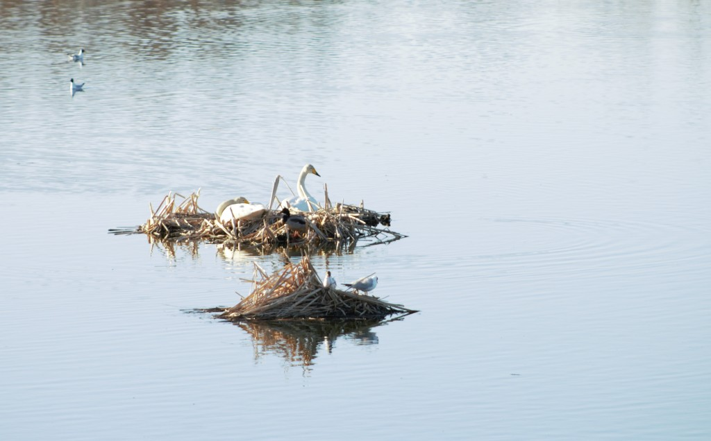 Whooper swan's nest on water. A couple resting there.