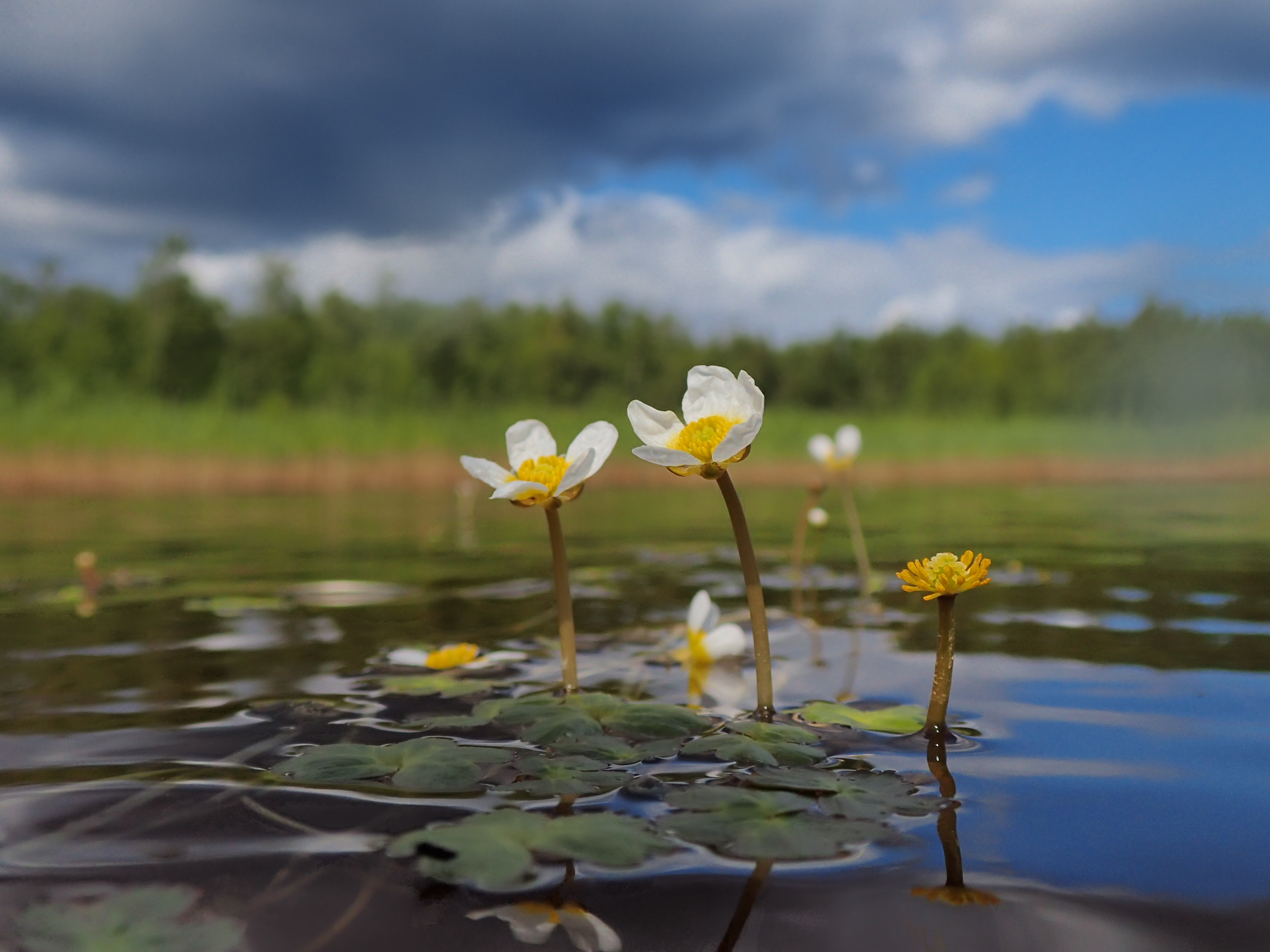 Pretty white flowers above water surface.