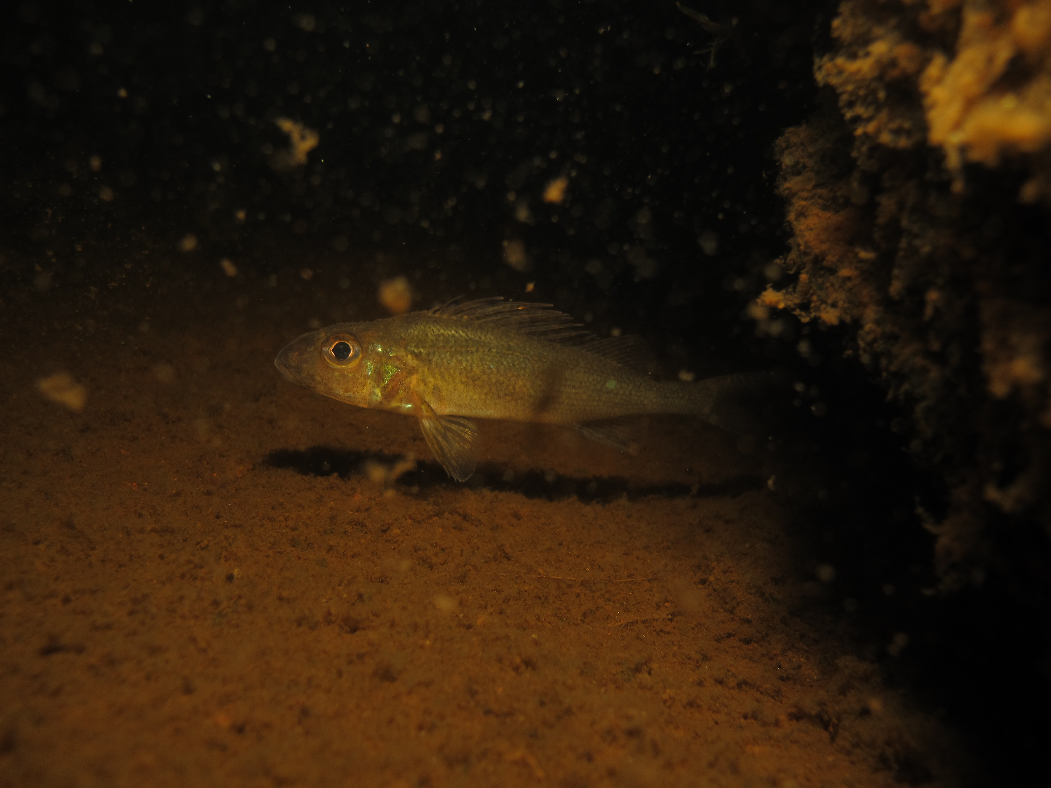 Small ruffe close to bottom in dark water.