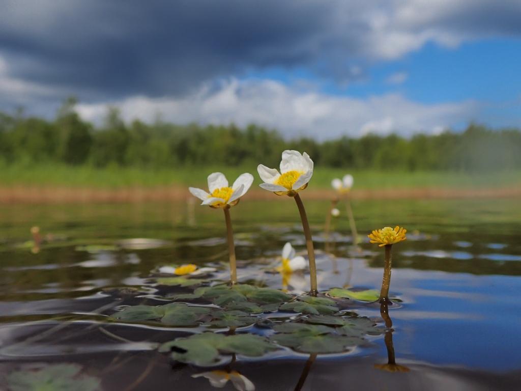 Buttercup flower close up.