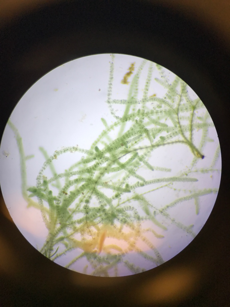 Microscope picture of red algae. The long, branched, threadlike filaments bear dense whorls of branchlets, resembling beads on a string.