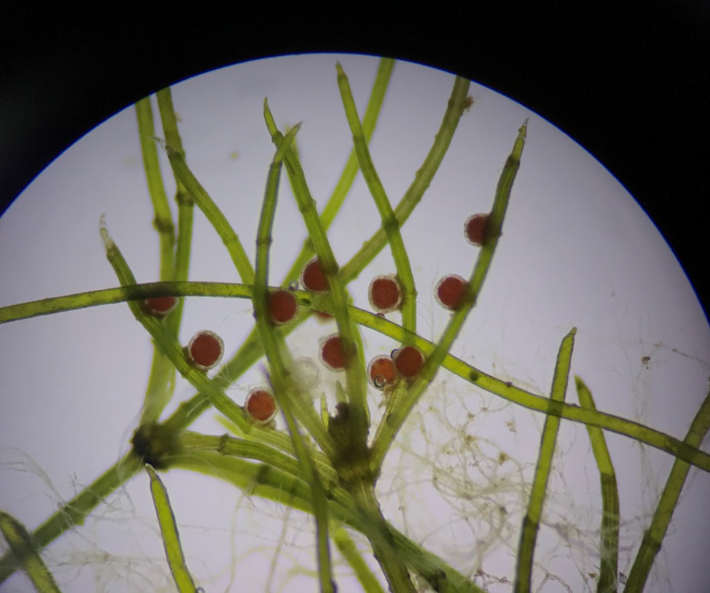 Microscopy picture of Rough Stonewort showing it's red antheridia.