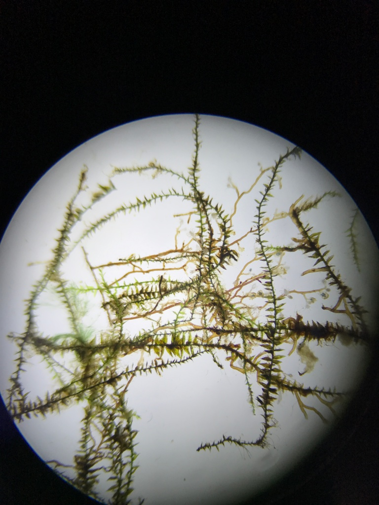 Microscopy picture of a water moss.