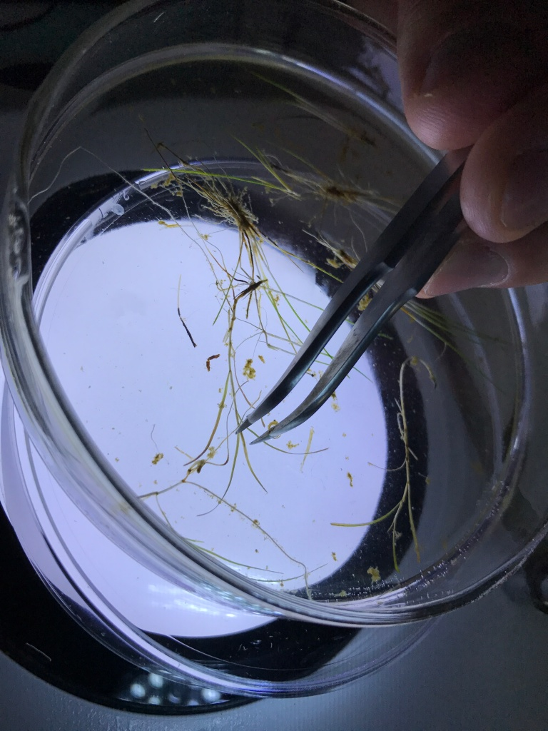 Plant on a Petri dish. Tweezers moving the plant.