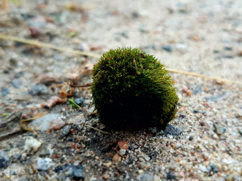 Aegagropila linnaei has grown into a ball, picture taken in dry land.
