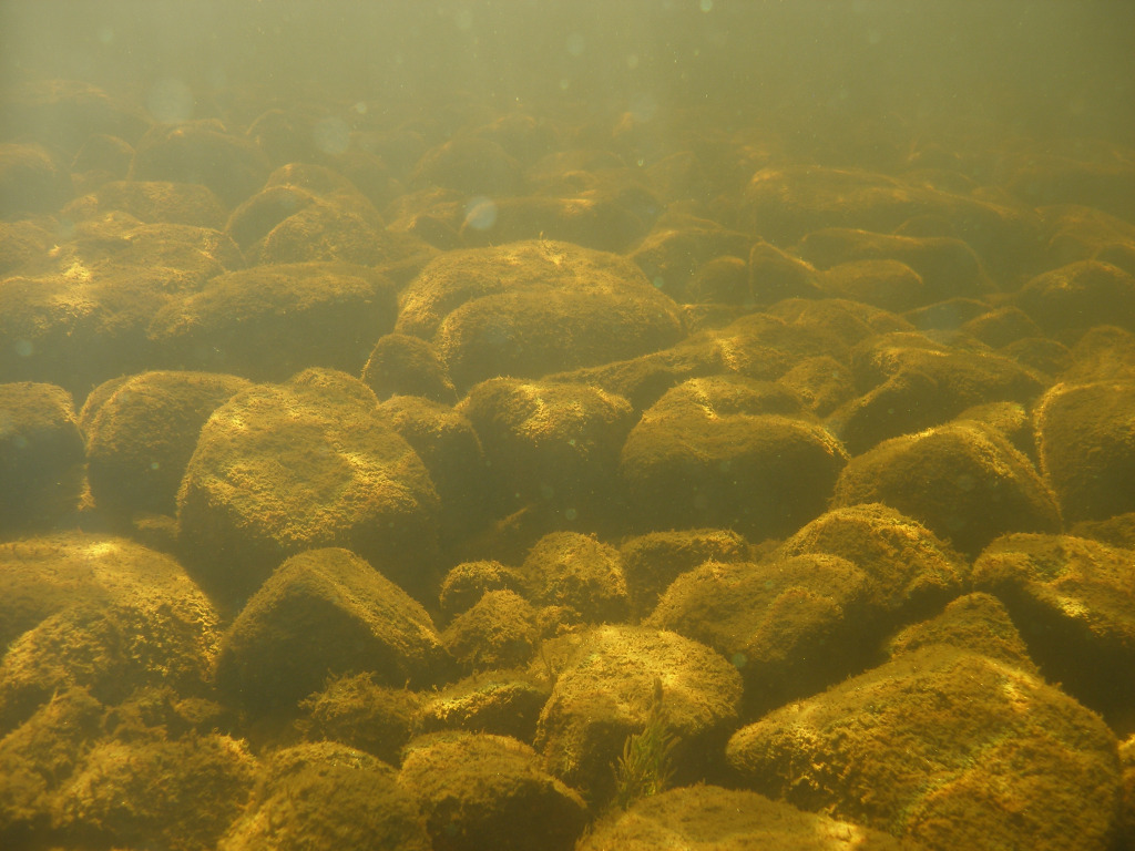Rocks under water, covered with vegetation.