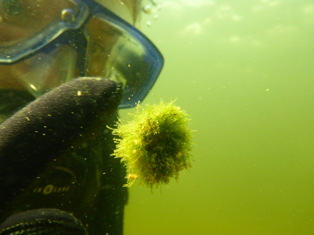 A moss ball freely in the water, a diver poking on it.
