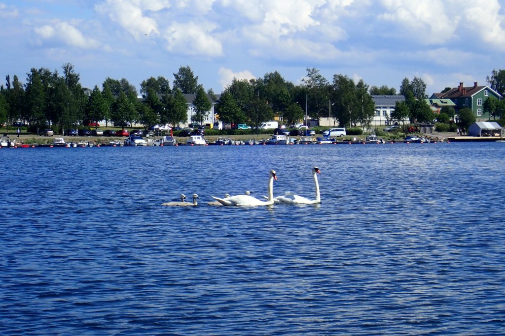 A swan family with 2 adults and 4 chicks.